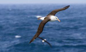 Un albatros