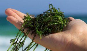 Des algues